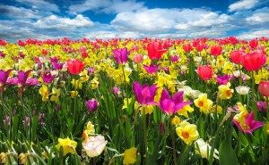 tulips in a field in full bloom for spring