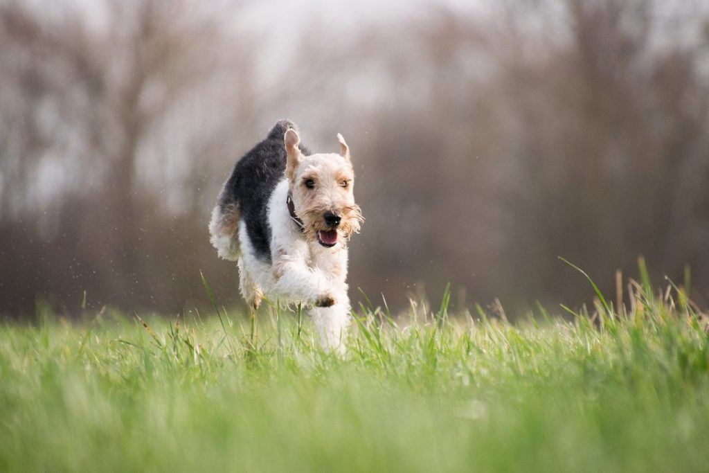 Puppy running in grass